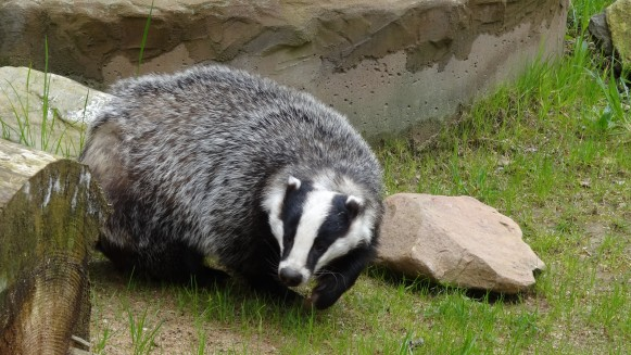 badger_animal_forest