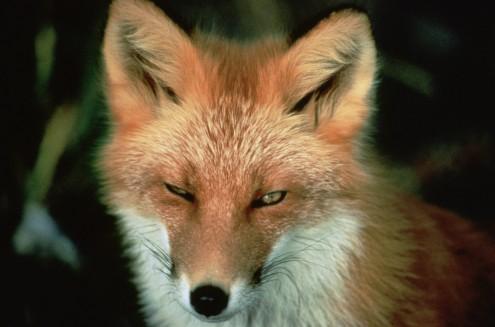red_fox_animal_wildlife